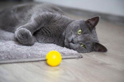 gato com bola no tapete